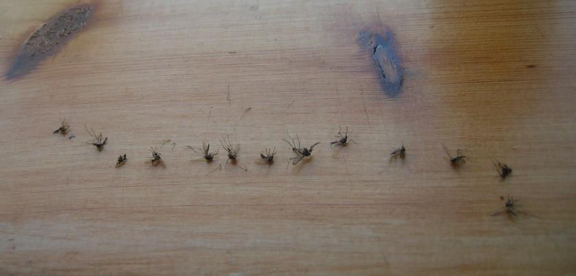 Hyttysiä