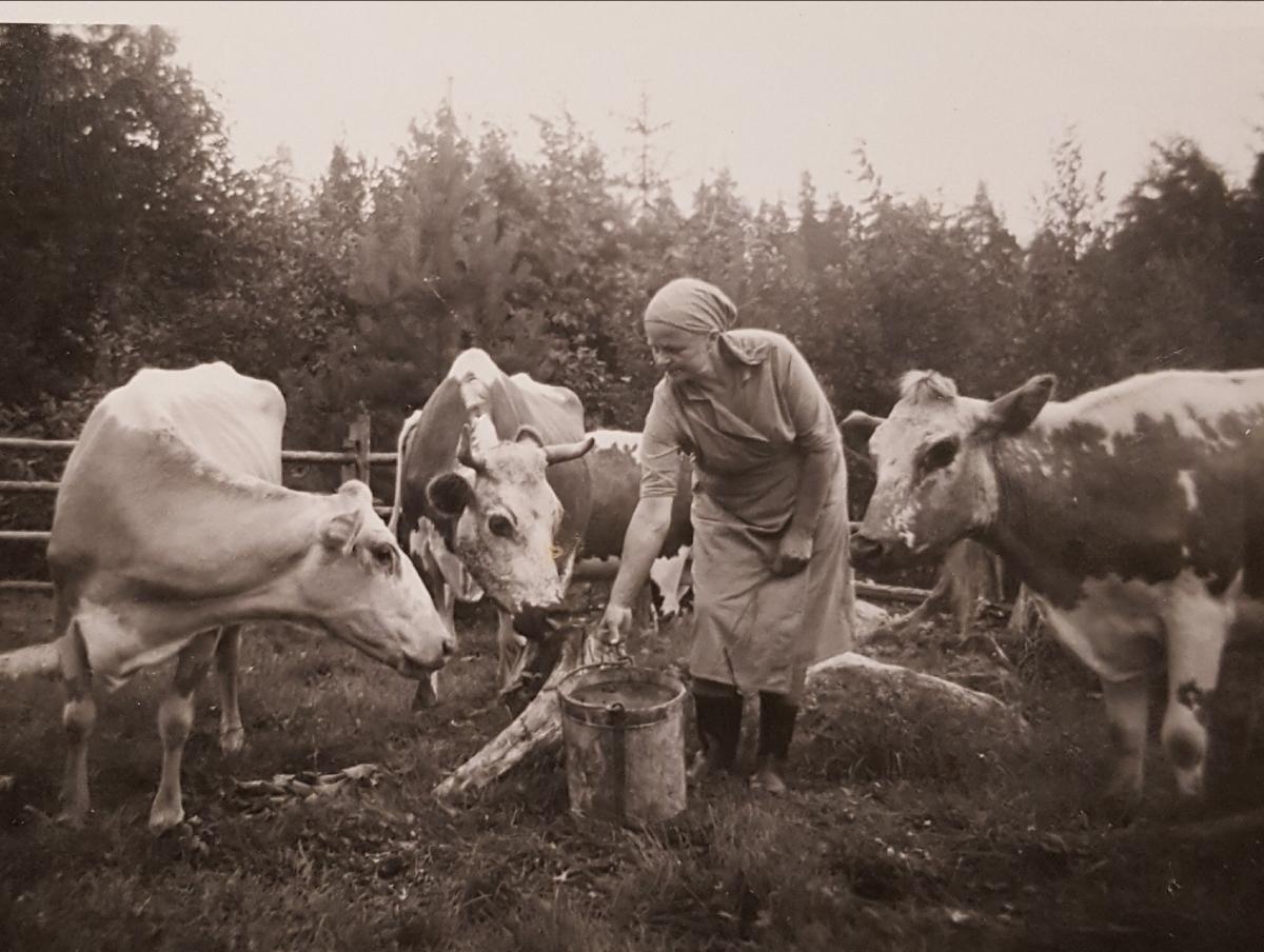 Lehmä sarvilla vaiilman?